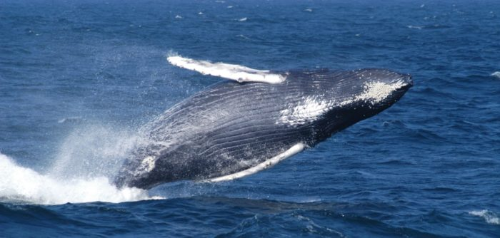 New agreement protects whales from New England to Caribbean