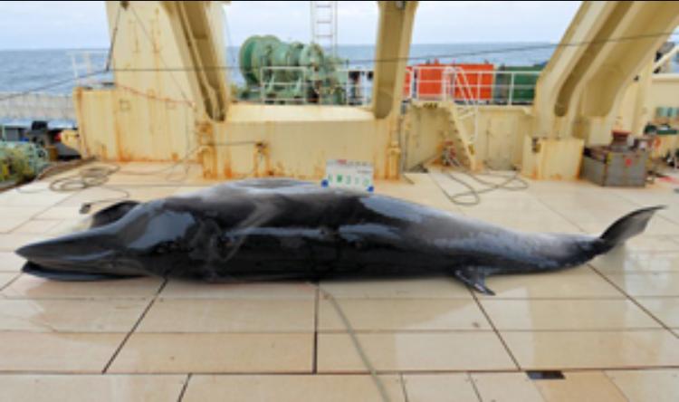 Japanese fleet kills 333 minke whales